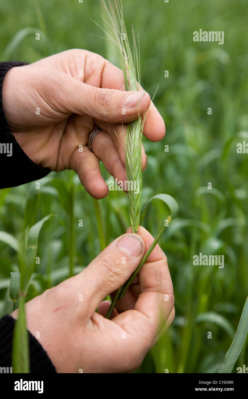 Farmer inspecting spike of cereal crop by hand in field, Belgium - Stock Image