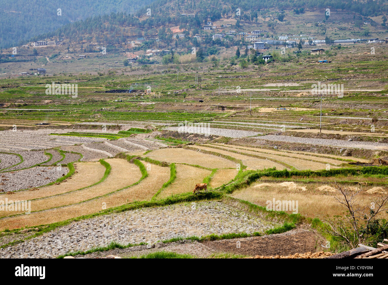 Terraced field and bhutanese village - Stock Image