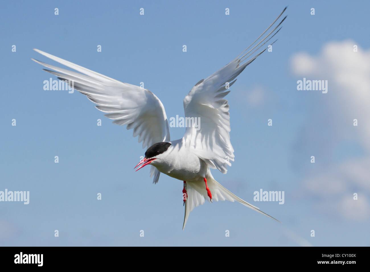 Tern in flight on Inner Farne Island. - Stock Image