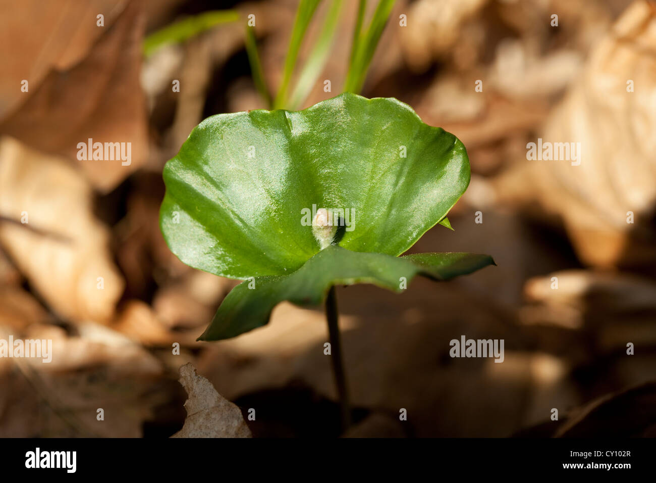 young seedling beech in forest on dry leaf - Stock Image