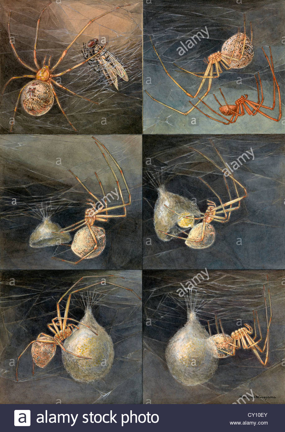 Painting of several spiders, Theridion tepidariorum, at work. - Stock Image