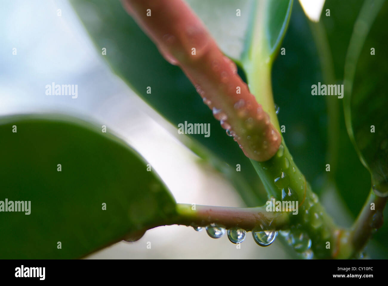 Ficus leaves with dew drops, Valencia, Spain - Stock Image