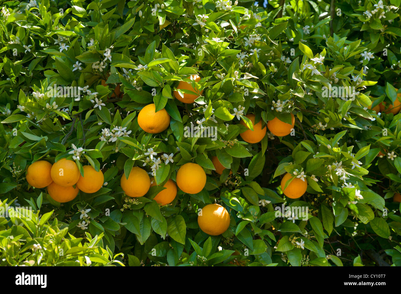 Oranges, and orange blossom on the tree in an Algarve Orange grove, Portugal Stock Photo