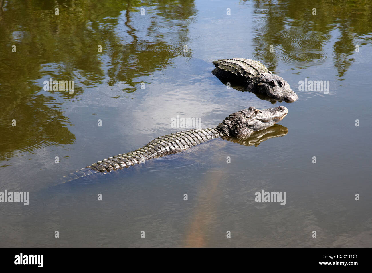 two large american alligators standing on underwater log near water surface florida usa - Stock Image