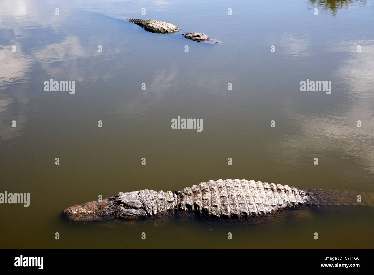 two large american alligators swimming floating near water surface florida usa - Stock Image
