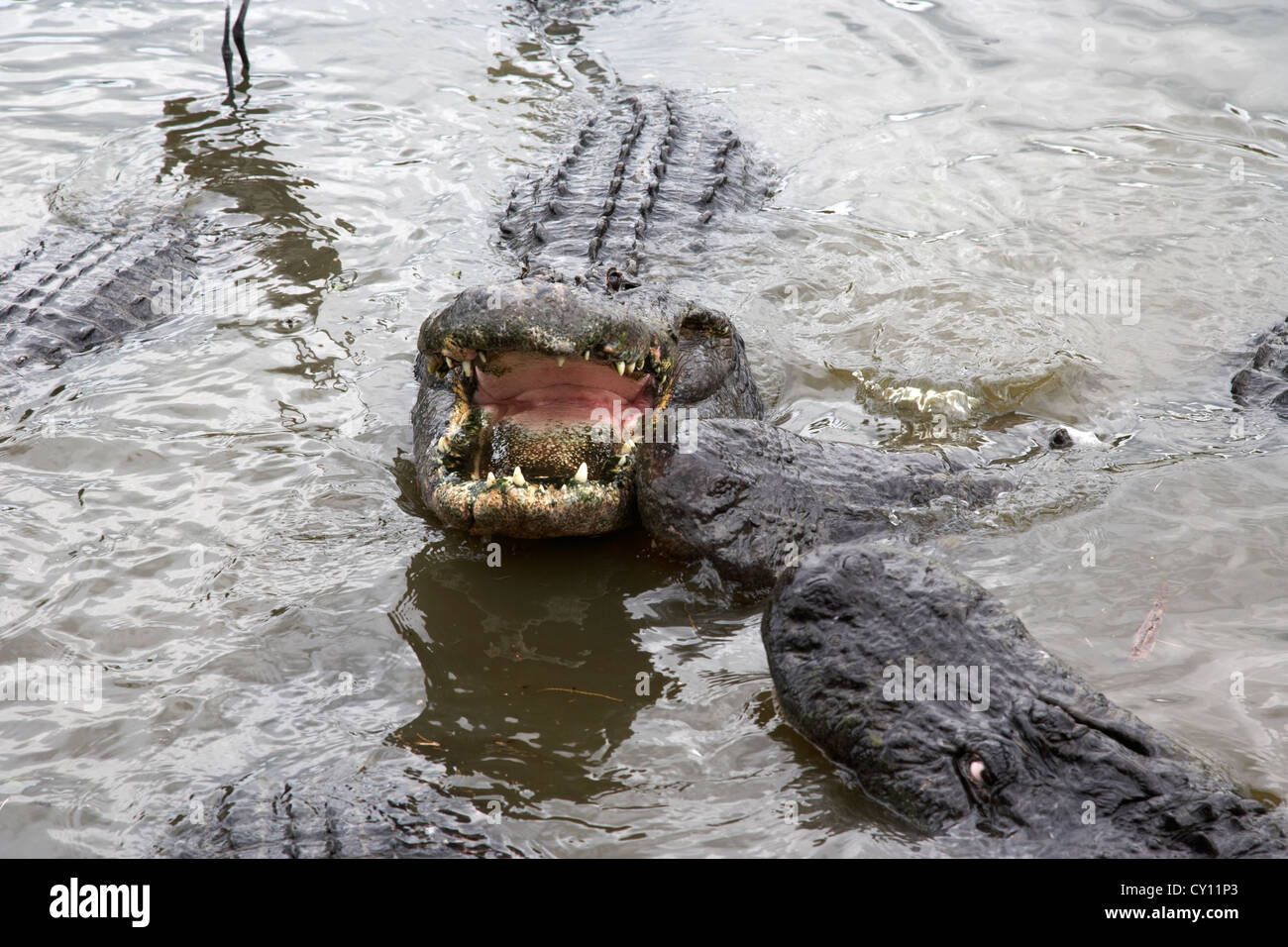 large american alligator with jaws mouth open surrounded by other alligators florida usa - Stock Image