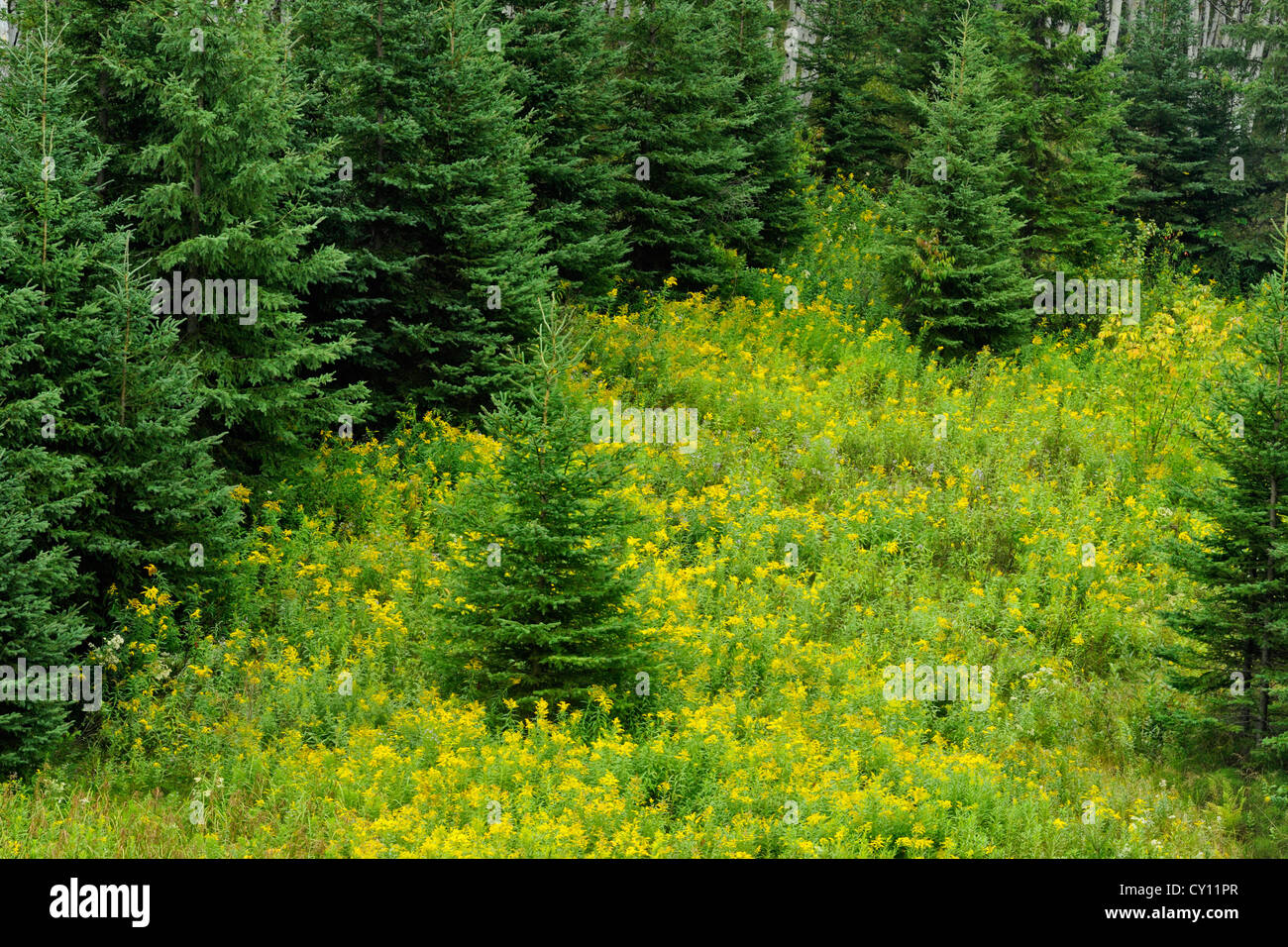 White spruces on slope, with goldenrods, Greater Sudbury, Ontario, Canada - Stock Image