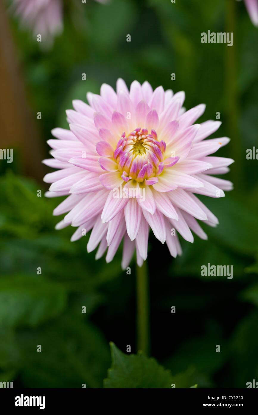 Beautiful Single Pink Dahlia Flower Stock Photos Beautiful Single