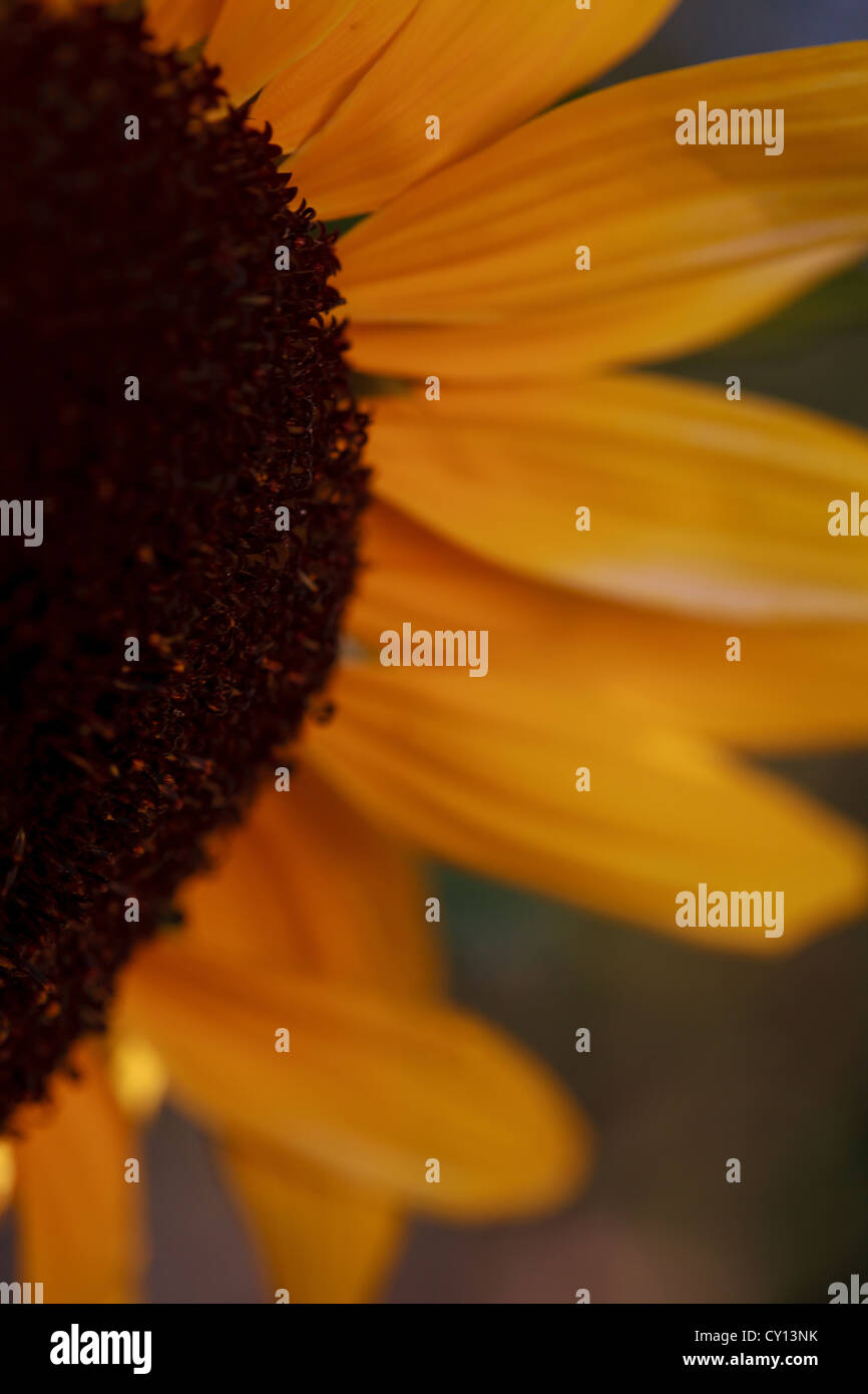 Sunflower petals detail in late summer sun with dreamy yellow colours - Stock Image