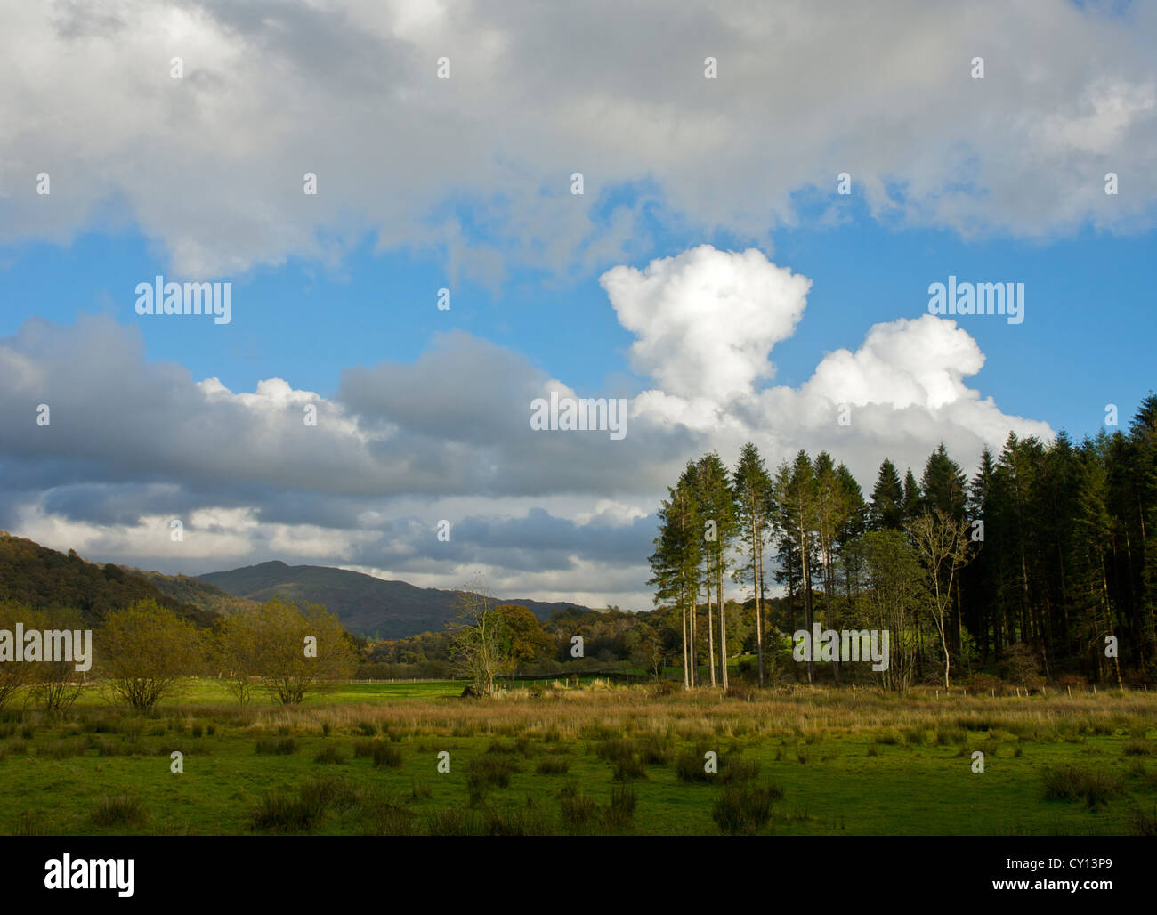 Conifer trees near Skelwith Bridge, Lake District National Park, Cumbria, England UK - Stock Image