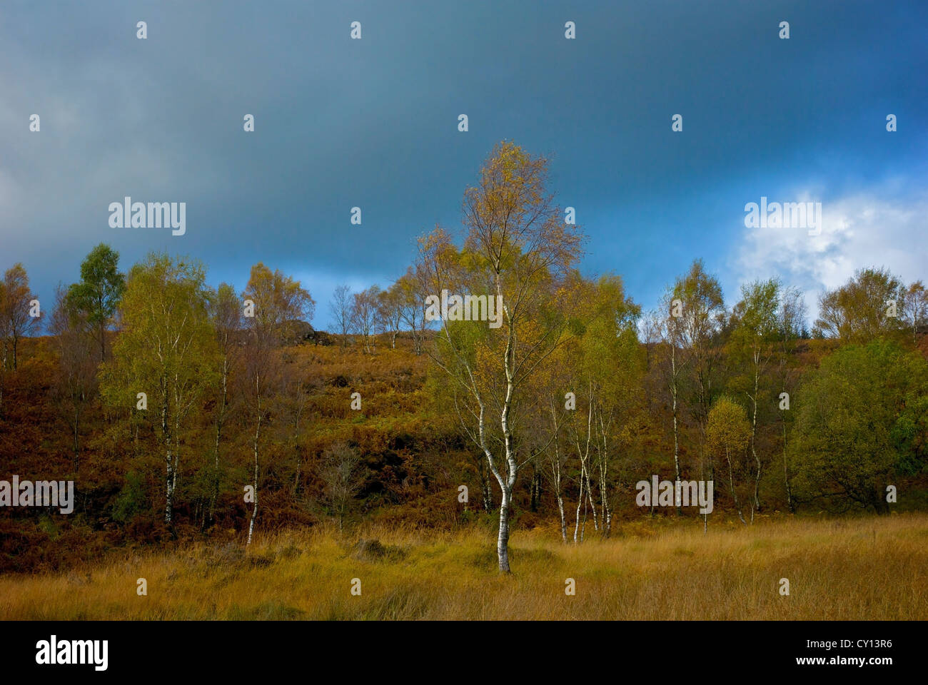 Silver birch trees and heathland at High Dam, Finsthwaite, South Lakeland, Lake District National Park, Cumbria, - Stock Image