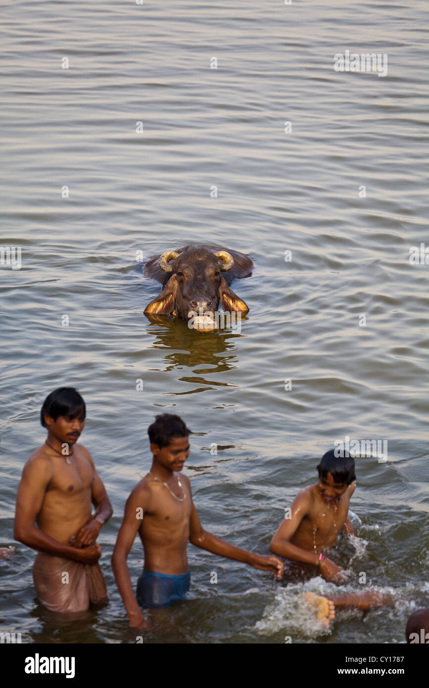 Young People sharing a Bath with Water Buffaloes in the holy river Ganges in Varanasi, India Stock Photo