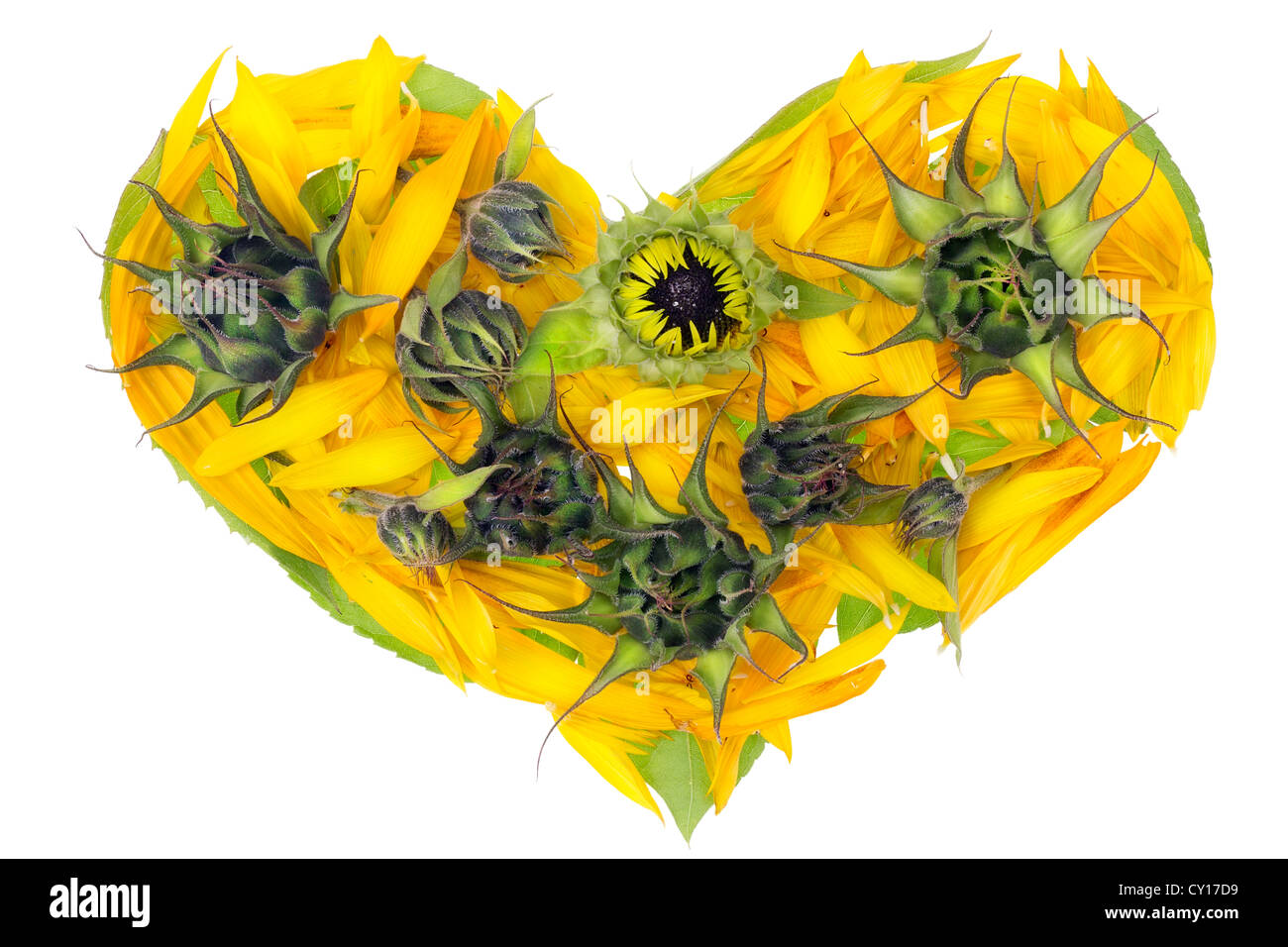 Abstract sunflowers isolated hot yellow summer heart concept - Stock Image