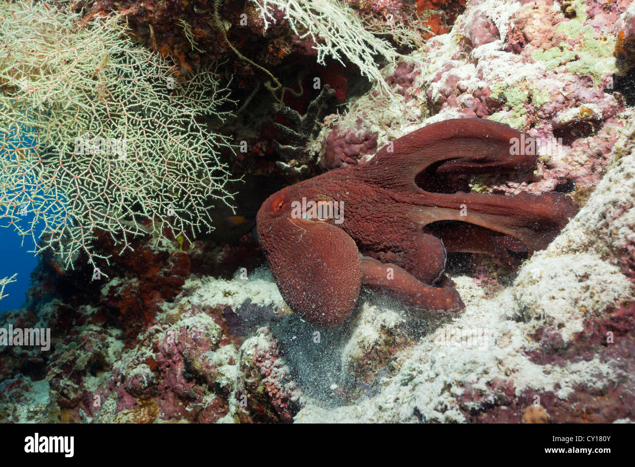 Octopus search for Food, Thaa Atoll, Maldives - Stock Image