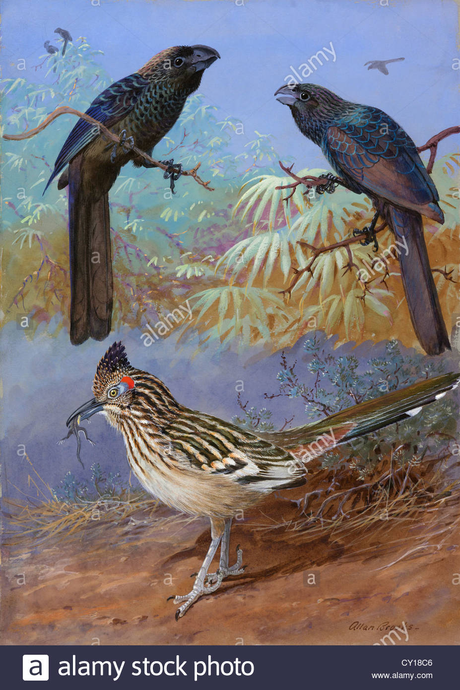 A painting of a smooth-billed ani, groove-billed ani and a roadrunner. Stock Photo
