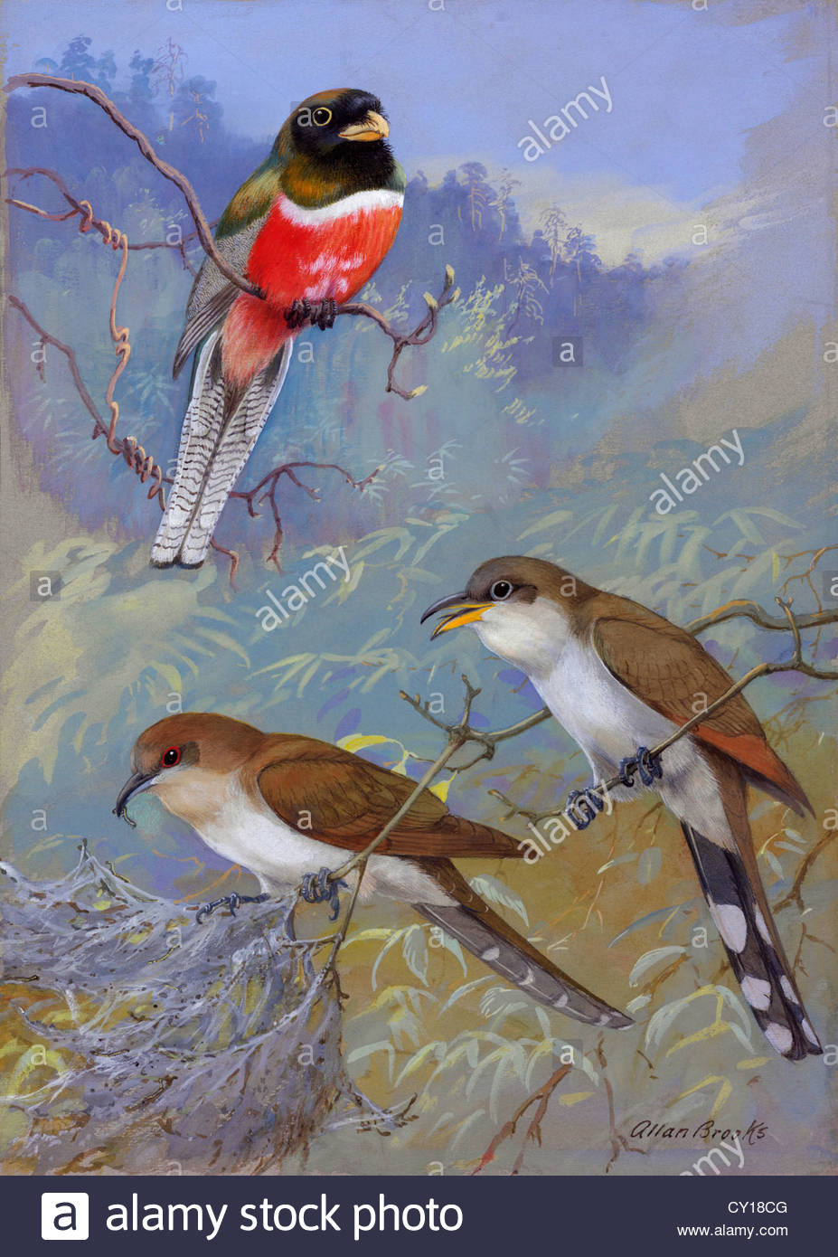 A painting of two species of cuckoo and a coppery-tailed trogon. - Stock Image