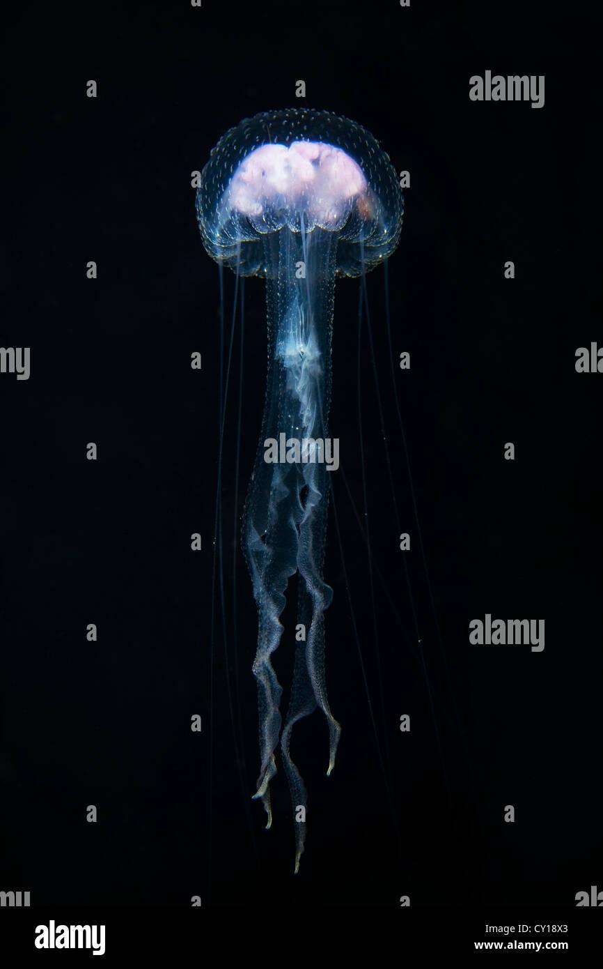 Luminescent Jellyfish, Pelagia noctiluca, Misool, West Papua, Indonesia Stock Photo