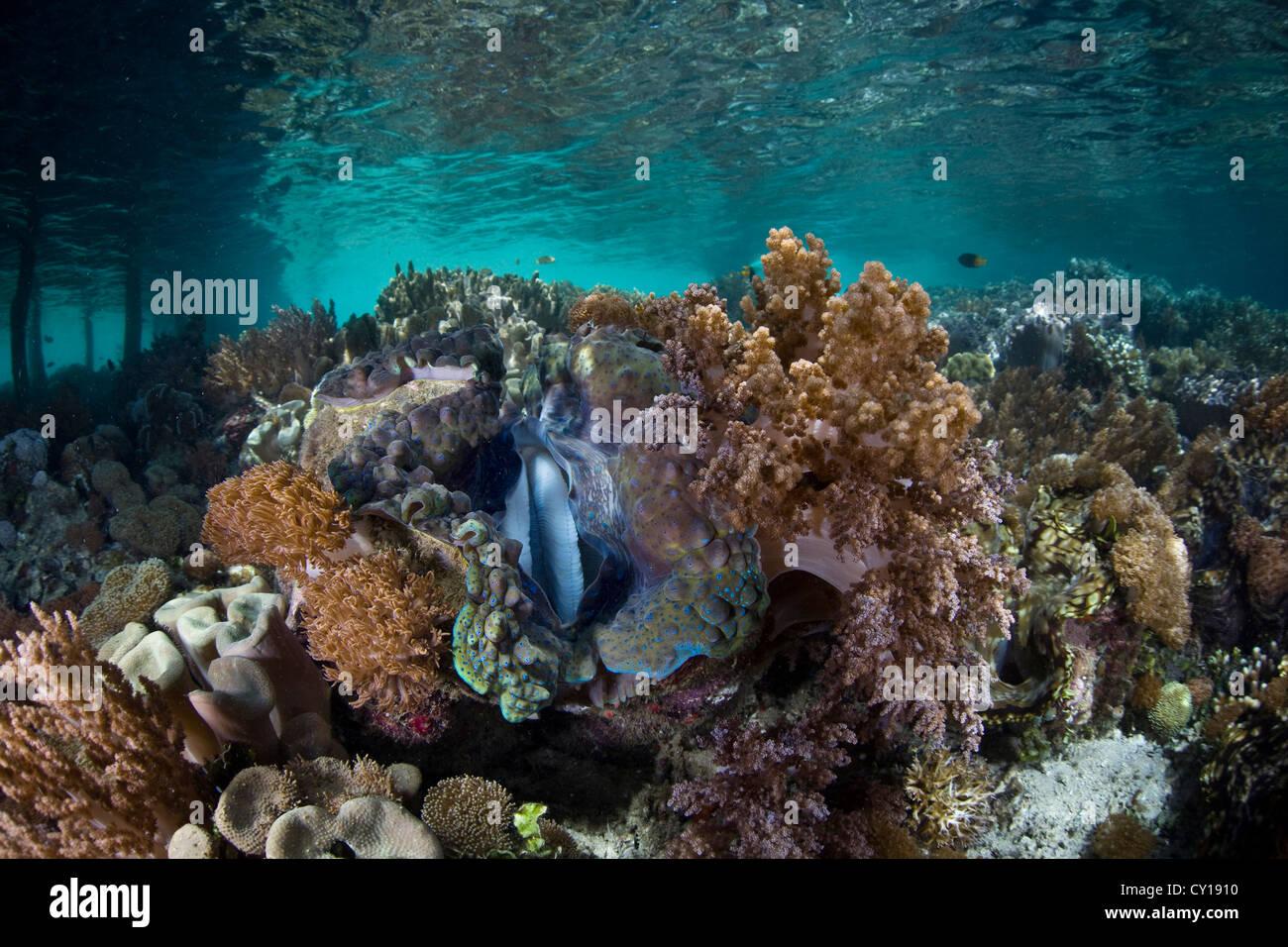 Giant Clam, Tridacna squamosa, Misool, West Papua, Indonesia Stock Photo