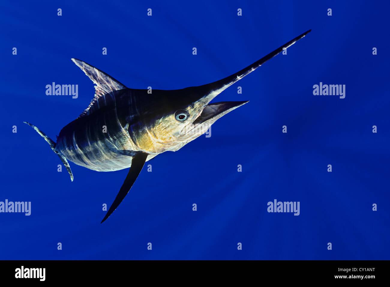 Blue Marlin, Makaira nigricans, Big Island, Hawaii, USA - Stock Image