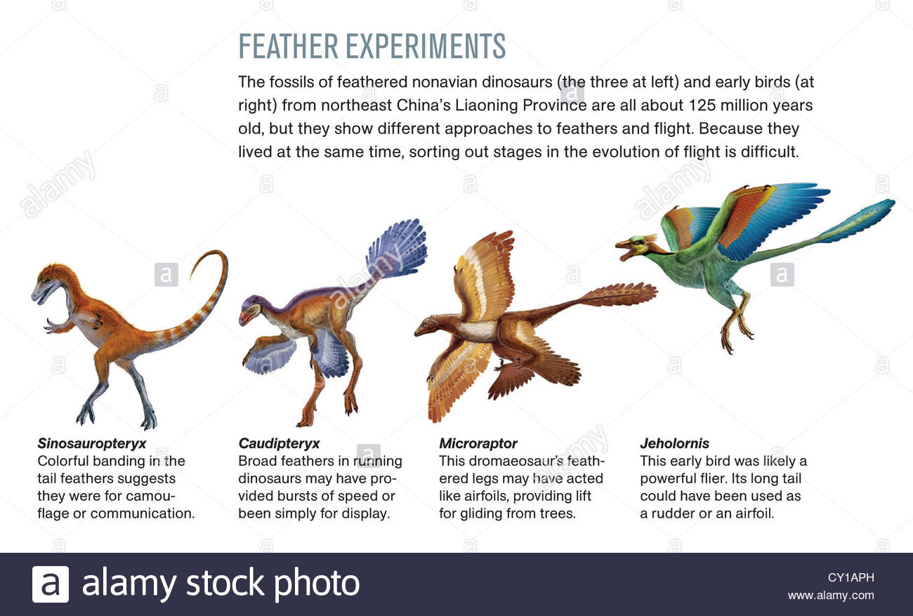Feathers of nonavian dinosaurs and early birds. - Stock Image