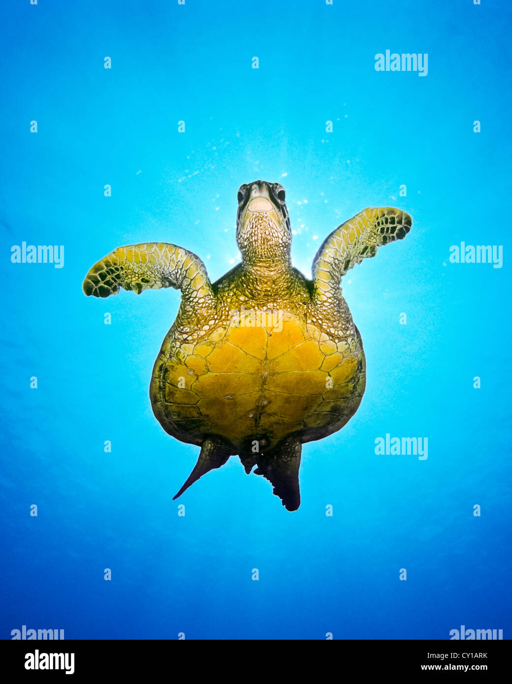 Green Sea Turtle, Chelonia mydas, Big Island, Hawaii, USA - Stock Image