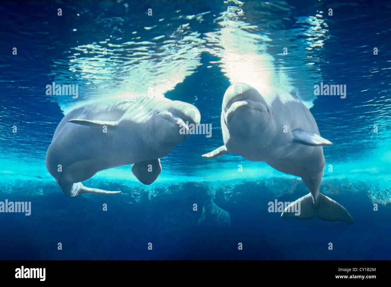 Beluga White Whale, Delphinapterus leucas, Captivity, USA - Stock Image