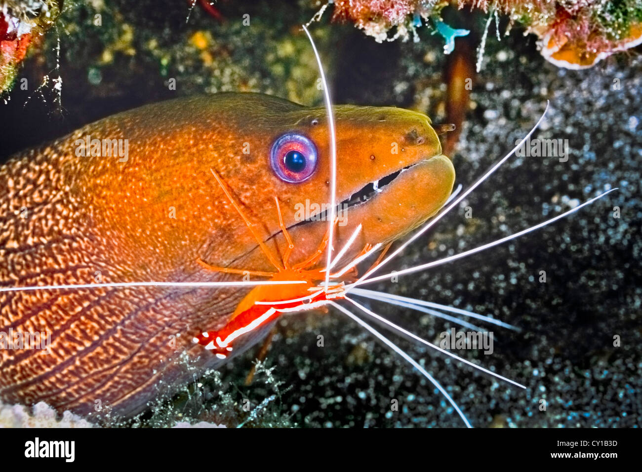 Undulated Moray Eel cleaned by Scarlet Cleaner Shrimp, Gymnothorax undulatus, Lysmata amboinensis, Big Island, Hawaii, - Stock Image