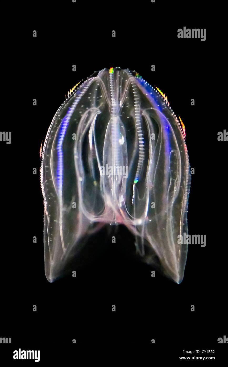 Bioluminescent Warty Comb Jellyfish, Mnemiopsis leidyi, Hawaii, USA - Stock Image