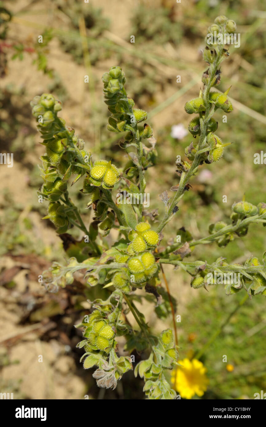 Hound's-tongue, Cynoglossum officinale, fruits or seedheads - Stock Image
