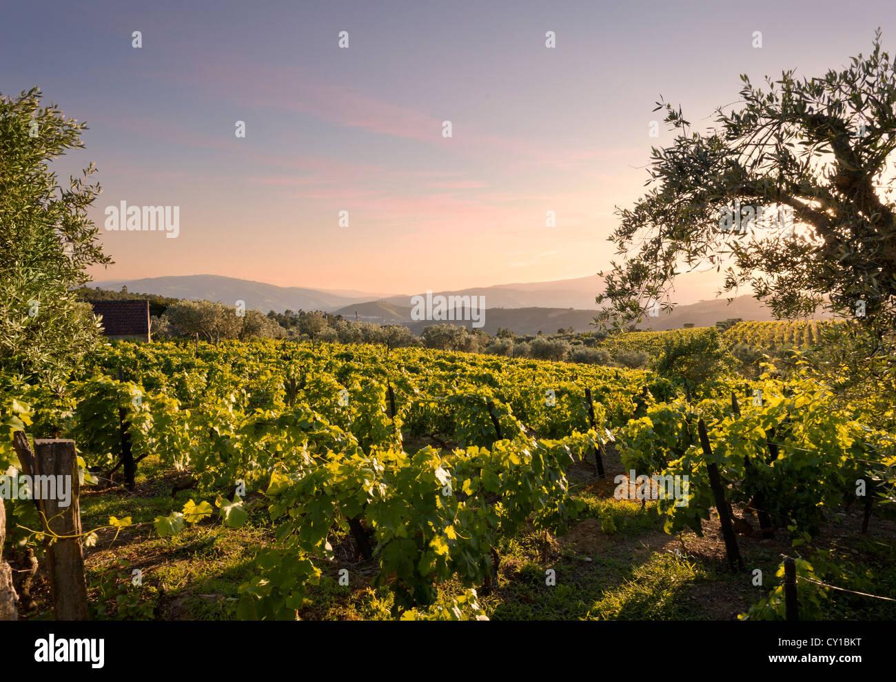 Portugal, the Alto Douro, vineyards near Peso da Régua - Stock Image