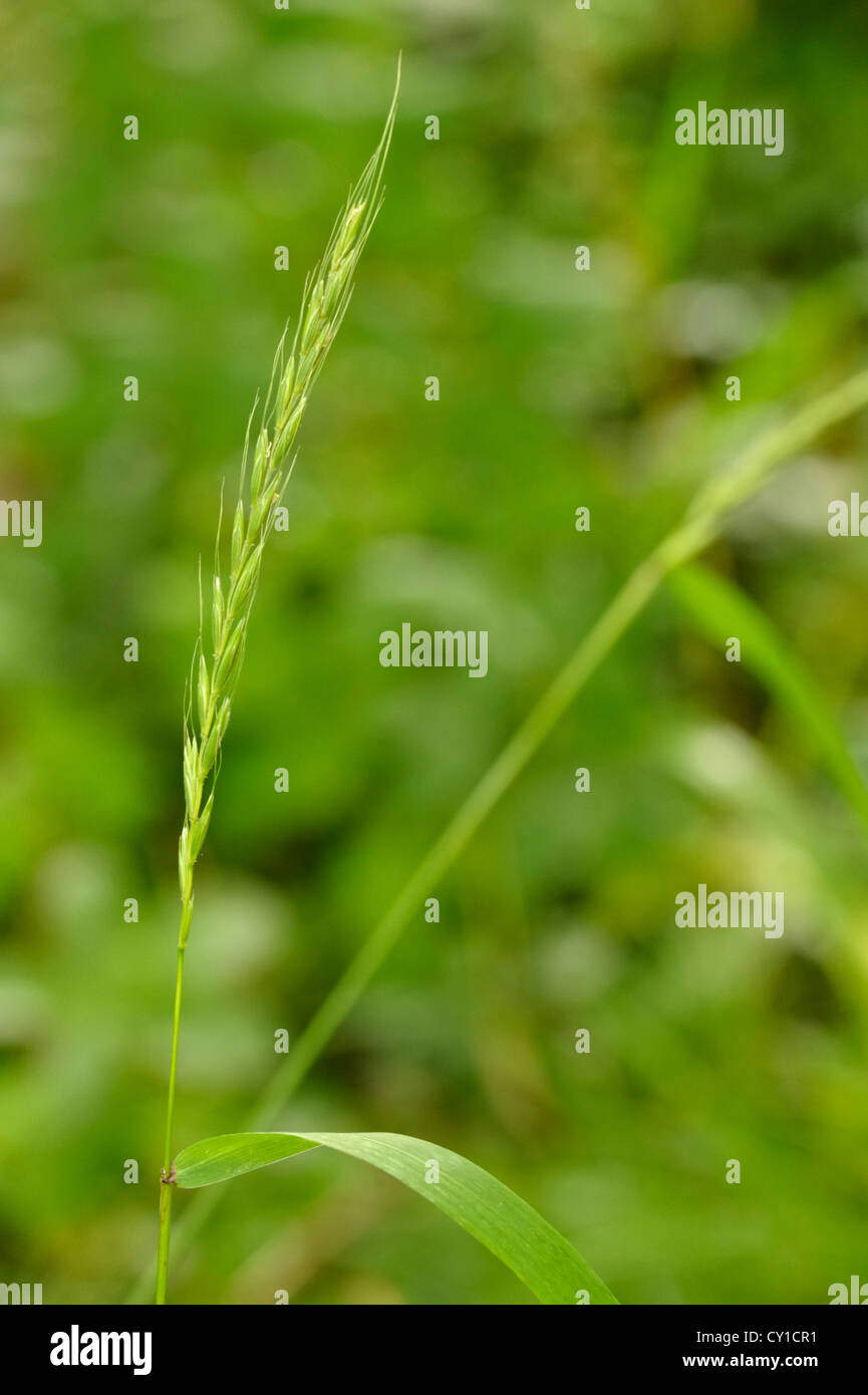 Bearded Couch Grass, Elymus caninus - Stock Image