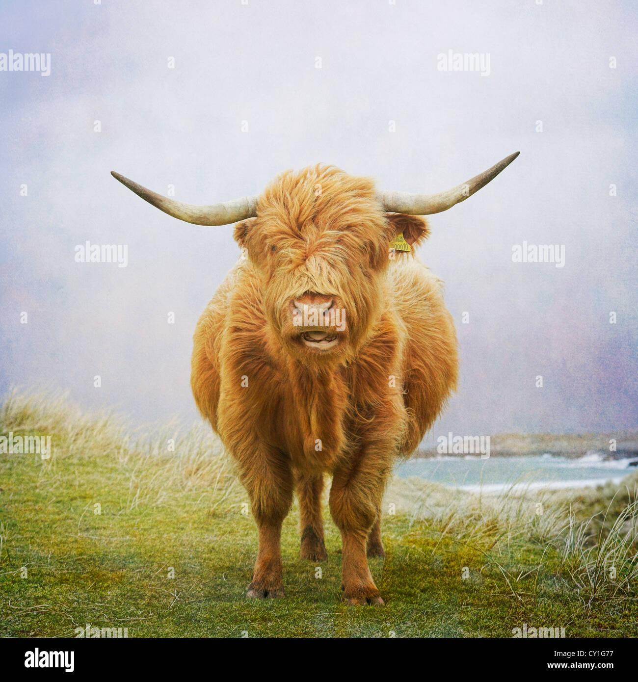 Highland cow, Hebrides - Stock Image