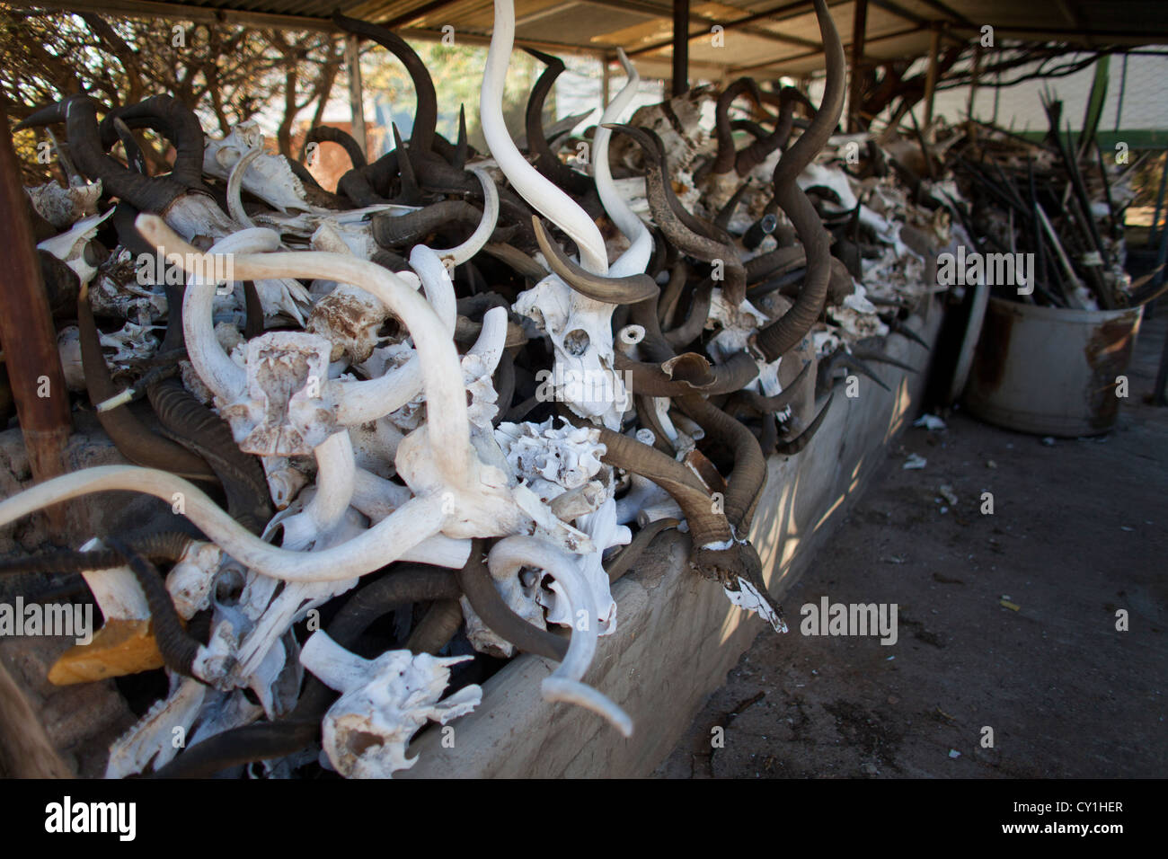 taxidermy. Hunters from US and Germany shoot wildlife and stuff it as a trophy in a taxidermy workshop in Namibia. - Stock Image