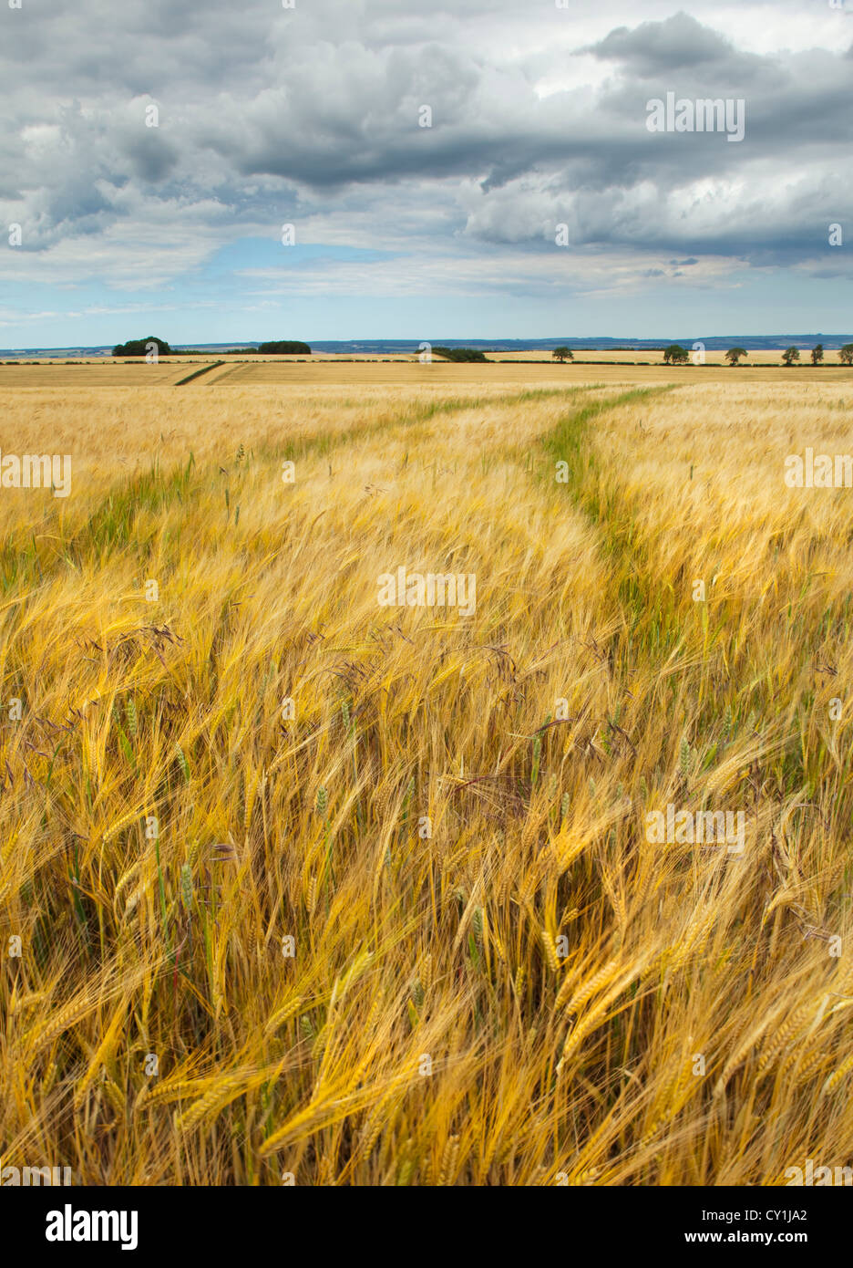 Wheat field, North Yorkshire - Stock Image