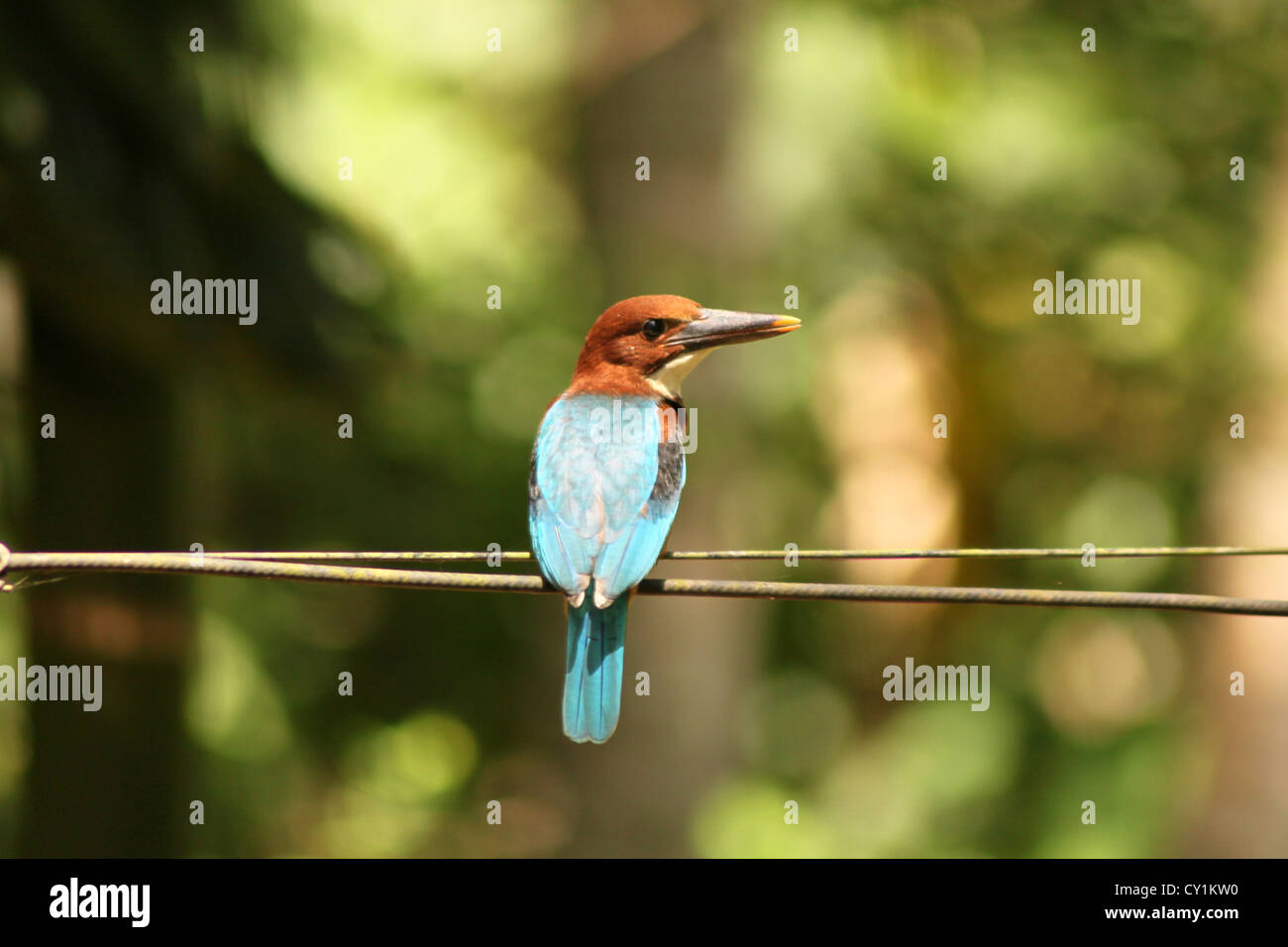 The White-throated Kingfisher Halcyon smyrnensis White-breasted Kingfisher Smyrna Kingfisher - Stock Image