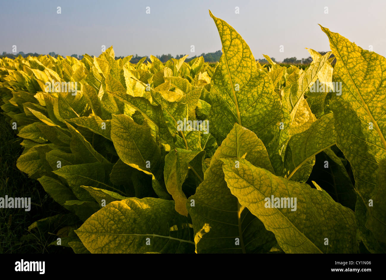 Closeup tobacco leaves on an Amish farm in the Amish country,  Lancaster County, Pennsylvania, USA, abstract pov - Stock Image