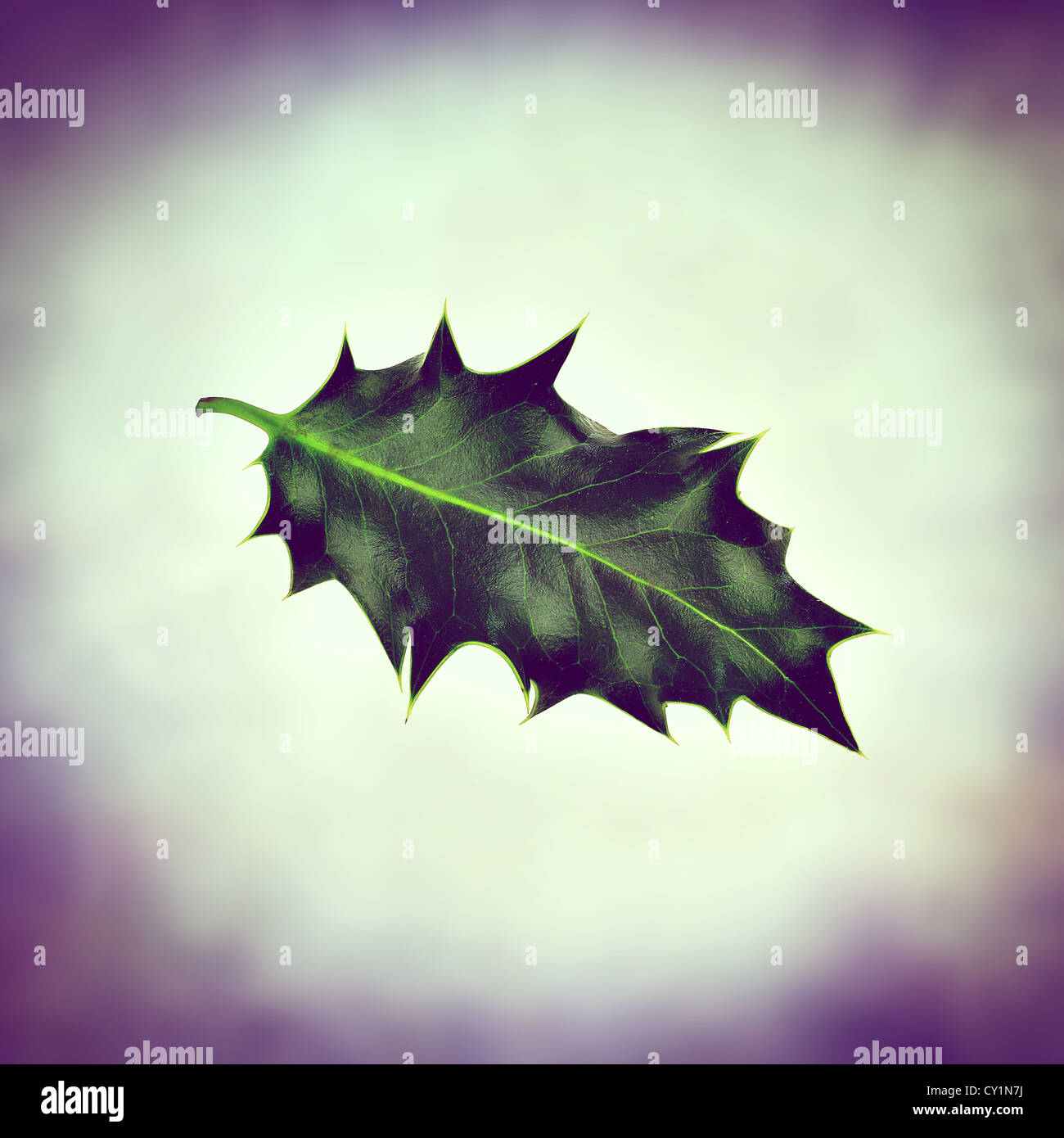 seasonal holly - Stock Image