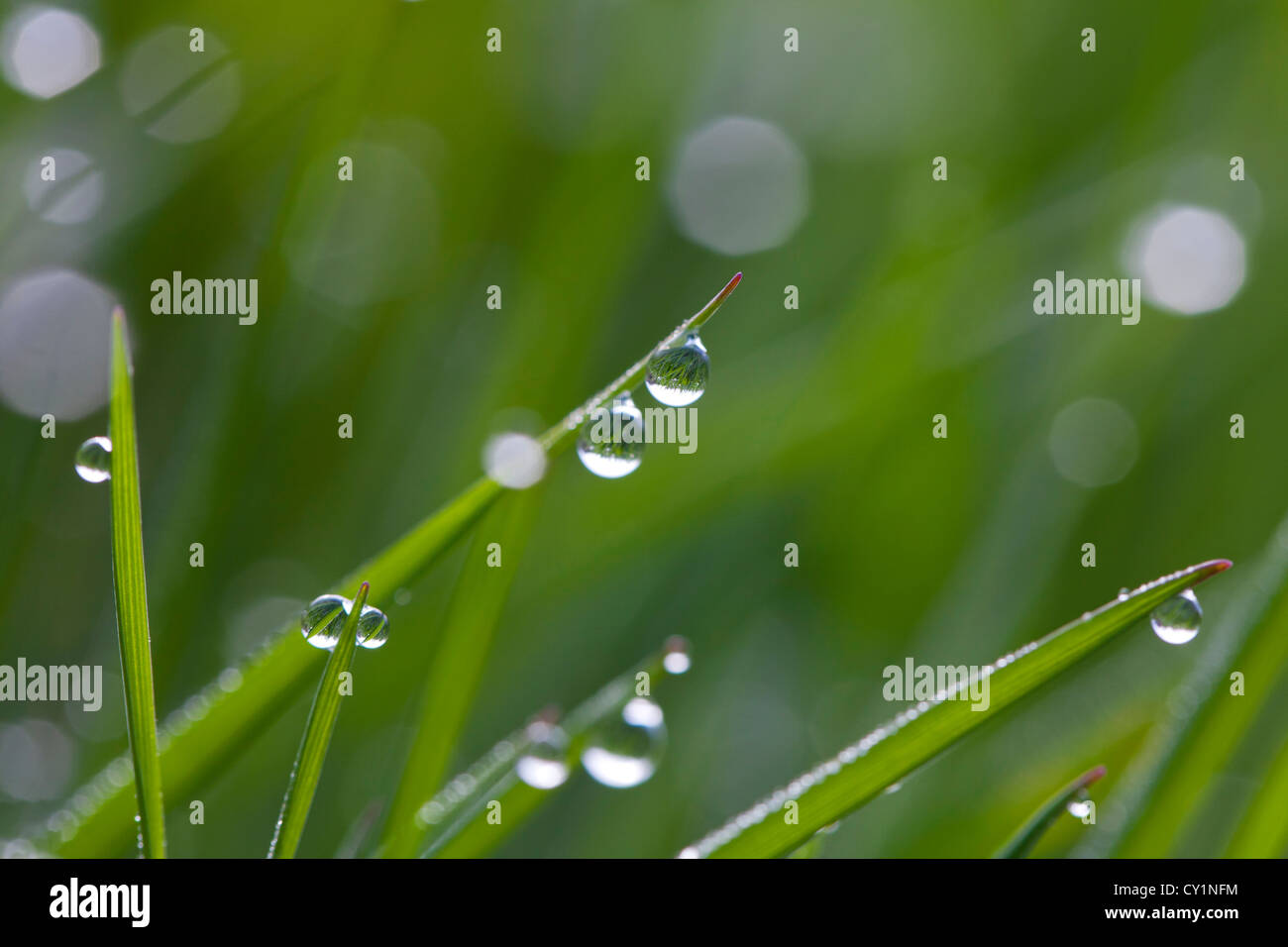 Close up of dewdrops on blades of grass in meadow in early morning - Stock Image