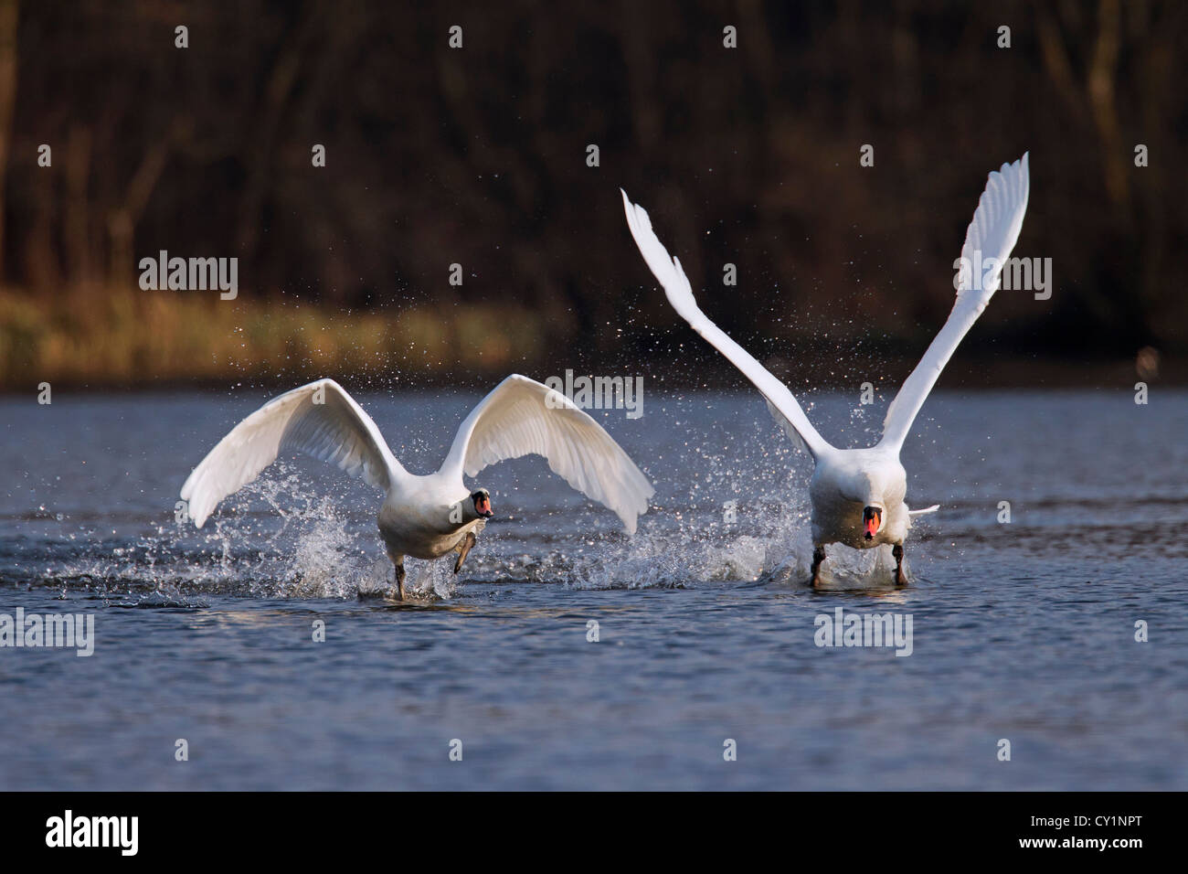 Territorial Mute swan (Cygnus olor) male chasing off competitor from lake, Germany - Stock Image
