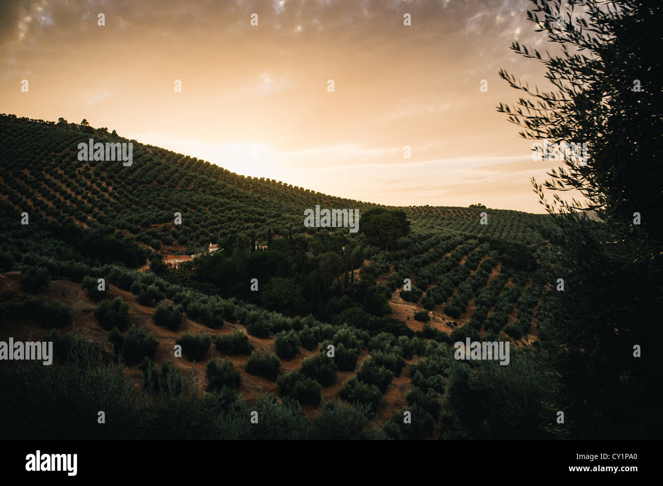 Olive trees as far as the eye can see at sunset in the mountains of Jaen, Andalucia. - Stock Image