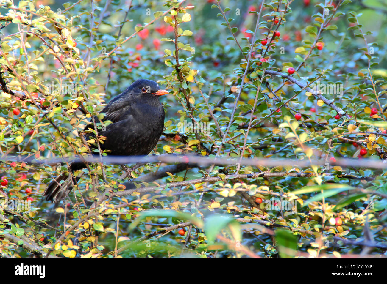 common blackbird male standing on a branch of hawthorn - Stock Image