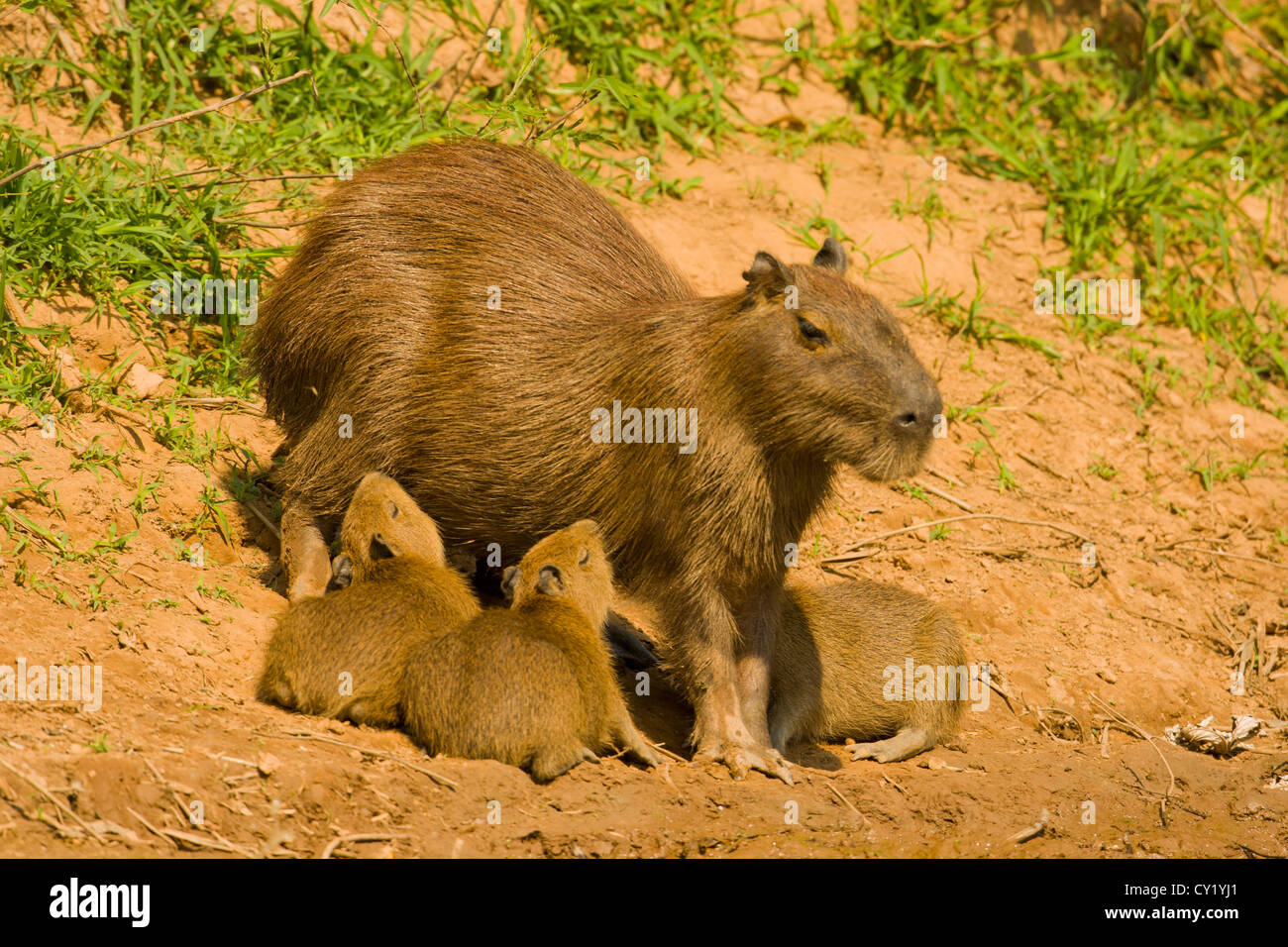 Capybara (Hydrochaeris hydrochaeris) , mother with young nursing Stock Photo