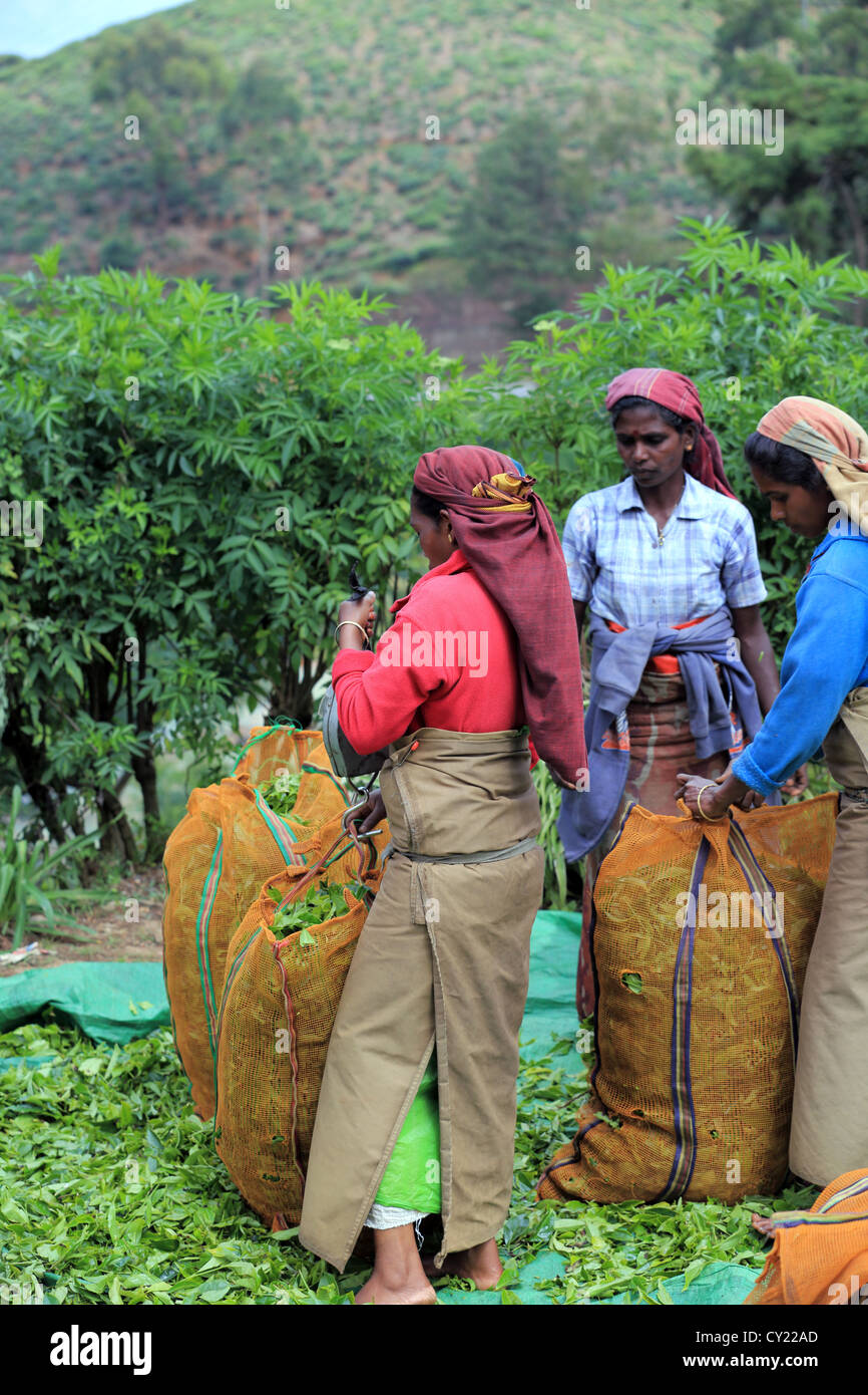 Sri Lankan women weighing sacks of fresh picked tea at a tea estate near Nuwara Eliya in the Sri Lankan highlands. Stock Photo