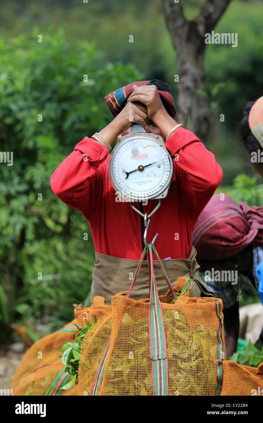 Sri Lankan women weighing sacks of fresh picked tea at a tea estate near Nuwara Eliya in the Sri Lankan highlands. - Stock Image