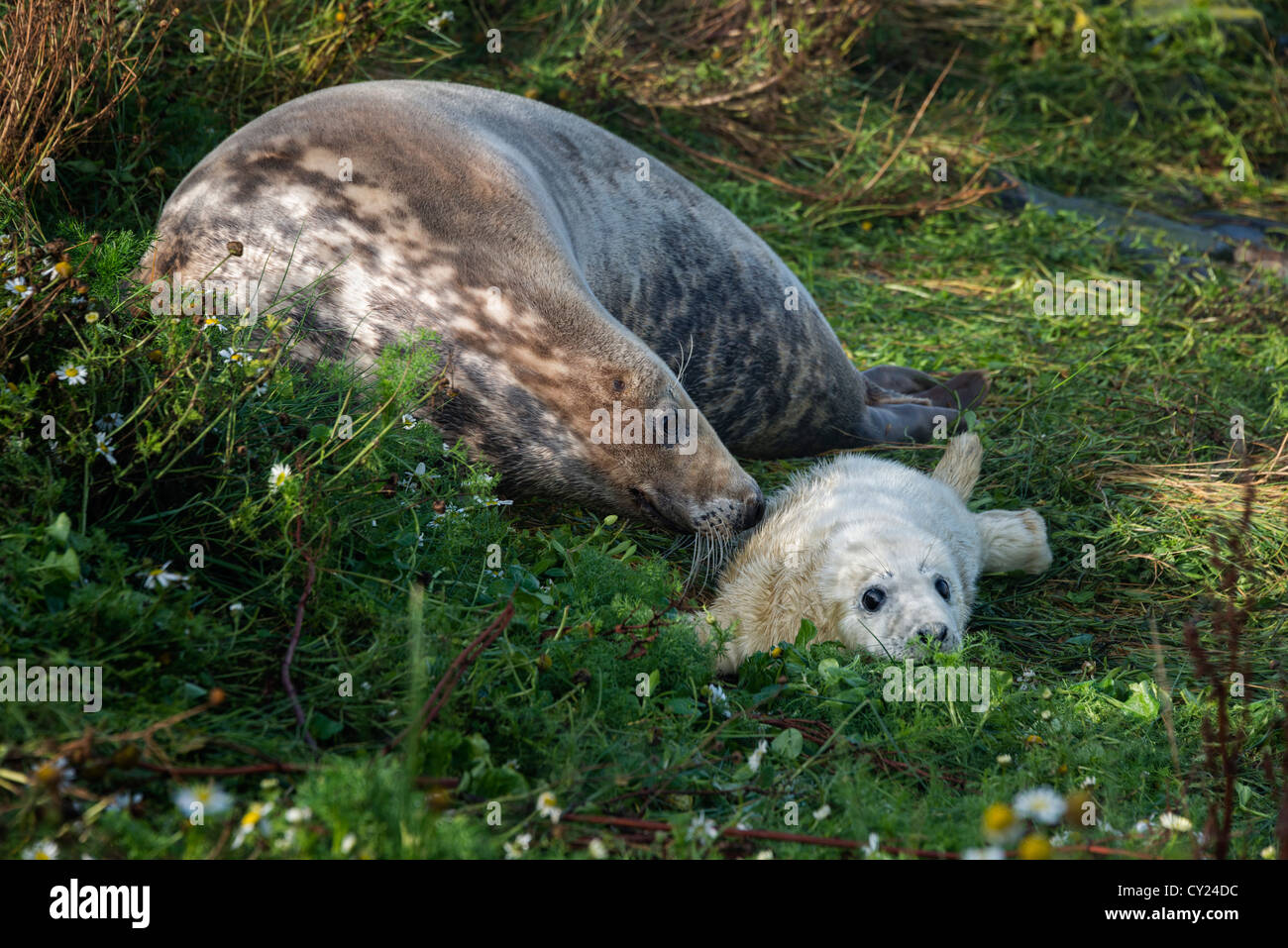 Atlantic Grey Seal mother and pup (Halichoerus grypus) Stock Photo