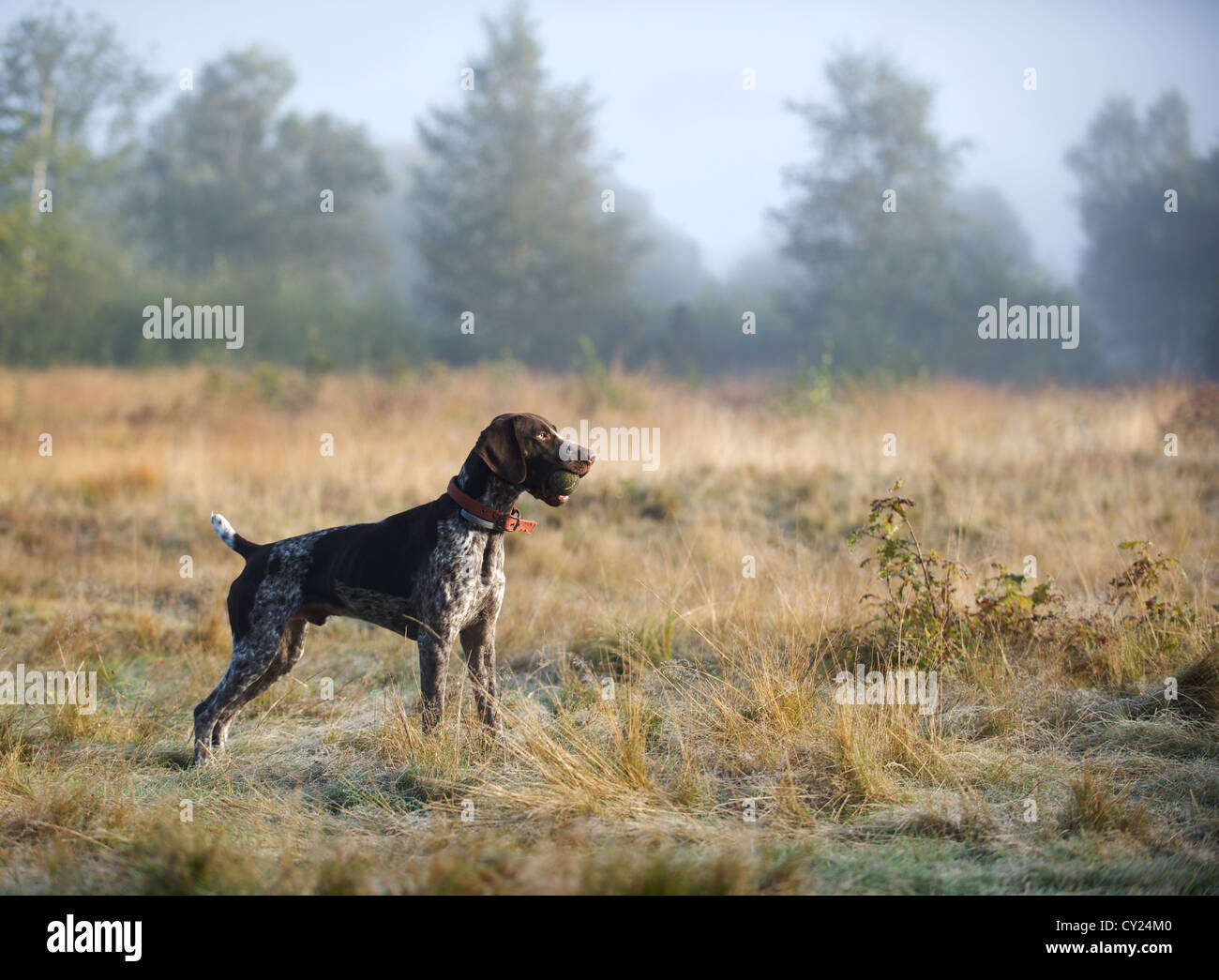 A young German Shorthaired Pointer enjoying the heather and woodland - Stock Image