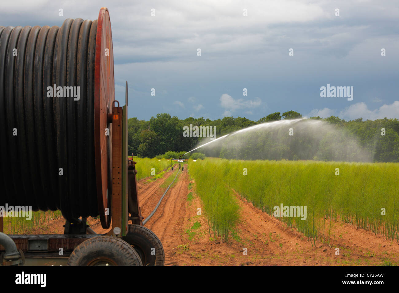 irrigation sprayer in an asparagus field - Stock Image