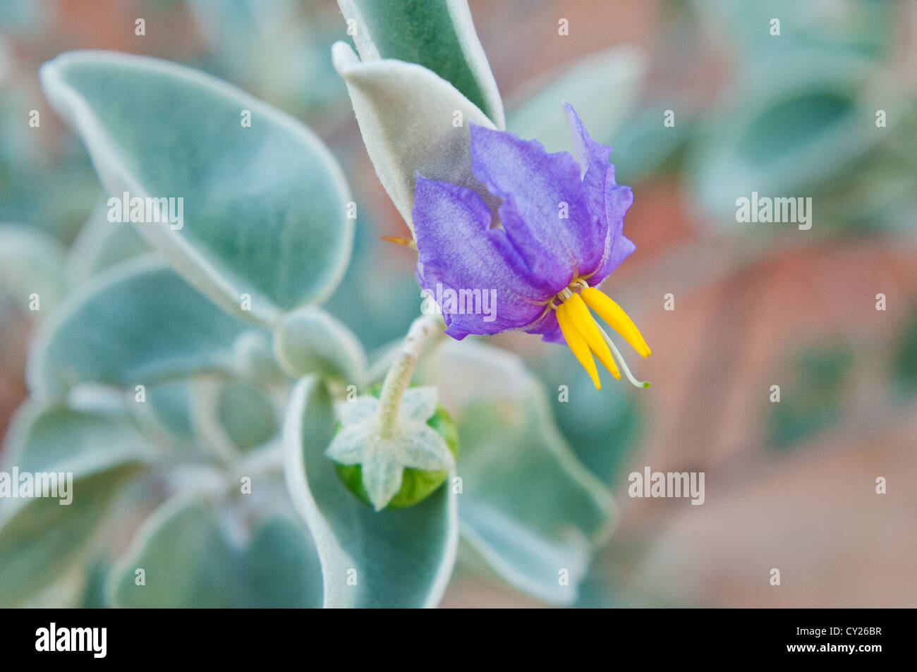 Purple Blossom of the Bush Tomato. - Stock Image