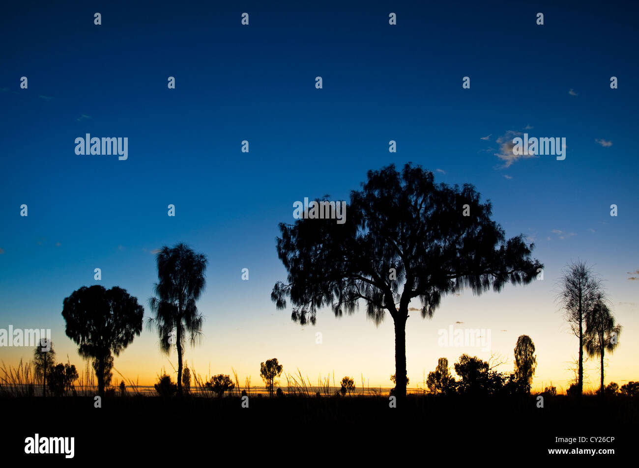 Dark silhouttes of Desert Oaks in different stages at sunsrise. - Stock Image