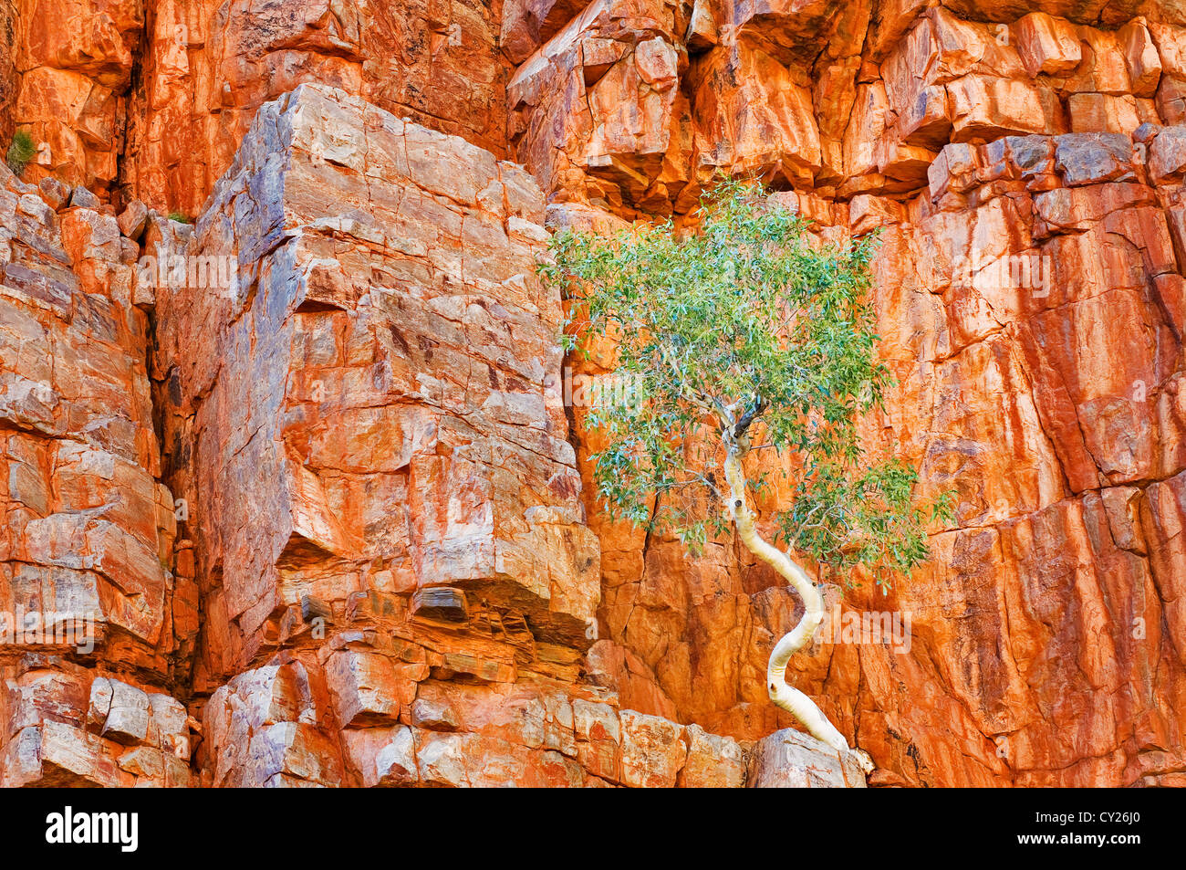 Lonely Ghost Gum in red rock wall. - Stock Image
